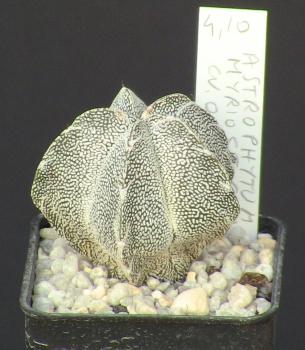 Cactaceae - Astrophytum myriostigma cv. Onzuka - CactusGarden.it ... 9dce7edaac00